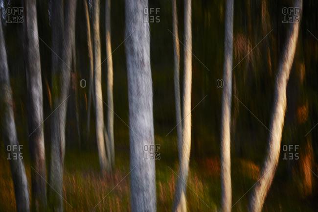 Blurry tree trunks