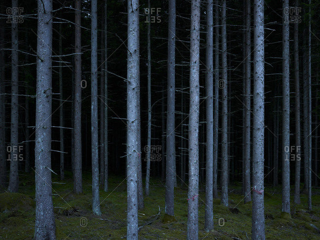 Forest of bare tree trunks