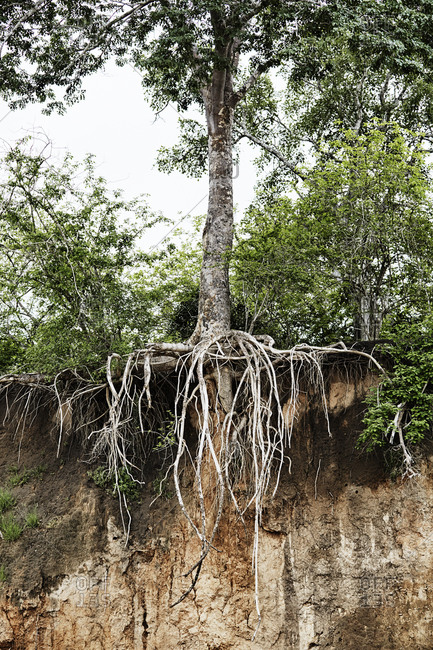 Tree with roots hanging from cliff