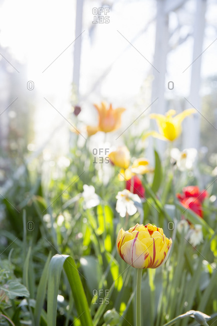 Tulips and daffodils flowers - Offset