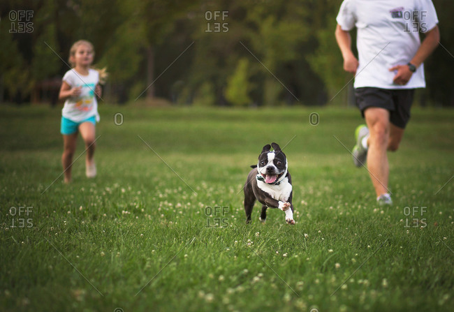 A french bulldog runs through a field with his family