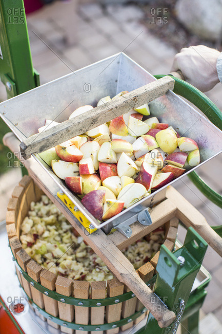 Man processing sliced apples in cider press