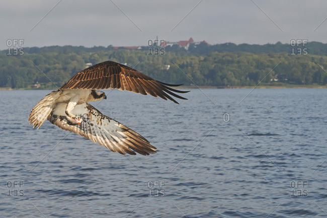Osprey carrying fish while flying over sea