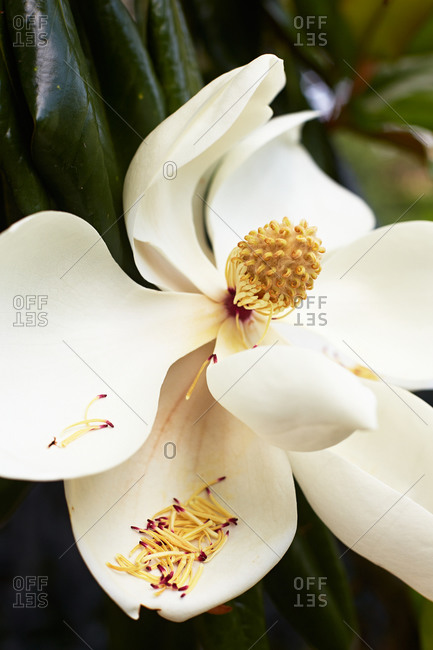 A magnolia flower dropping its stamens