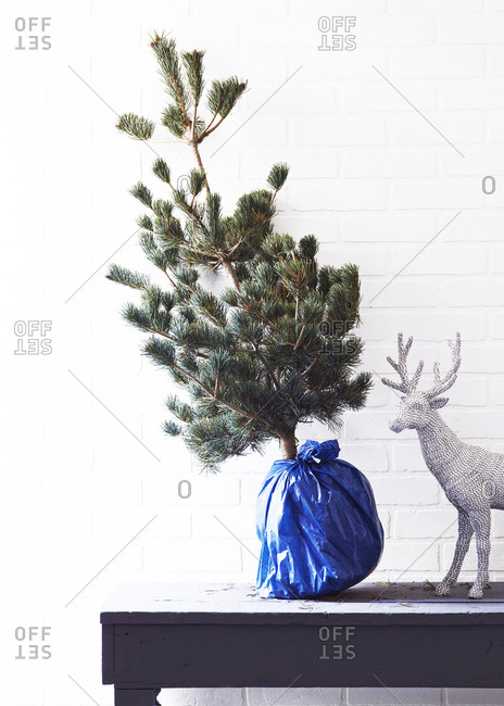 A small pine tree with its roots wrapped up