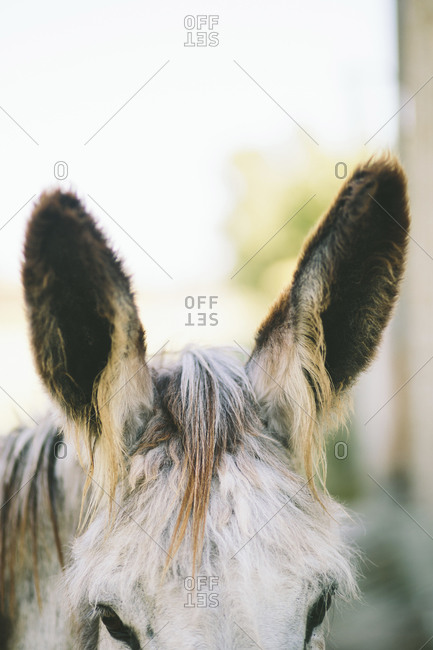 Close up of the furry ears of a donkey