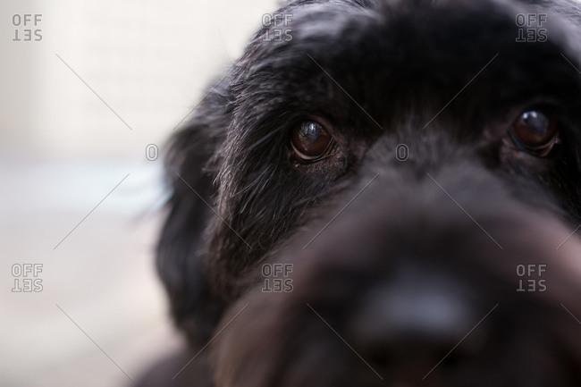 A black dog's nose