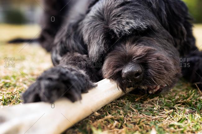 A dog chews on a big rawhide