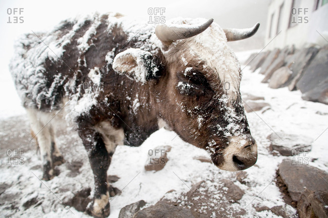 Snow-covered cattle covered in the Himalayas at Tengboche, Nepal