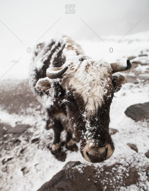 Cattle covered in snow in the Himalayas at Tengboche, Nepal