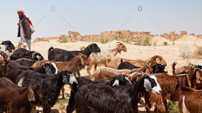 Goat herder in the Siwa Oasis, Egypt