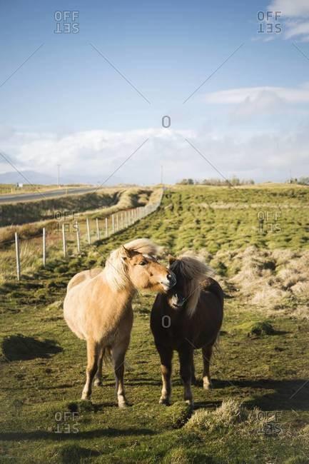 Two Icelandic horses cuddling