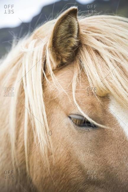 The eye of an Icelandic horse