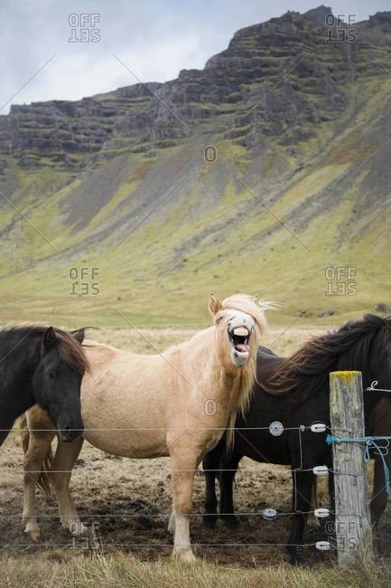 An Icelandic horse whinnies