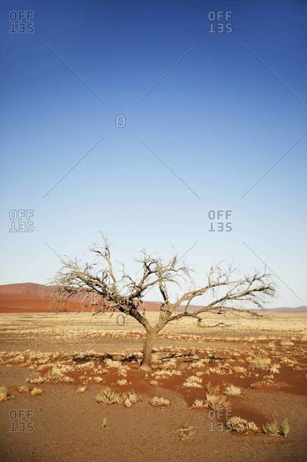 A tree in the desert in Sossusvlei, Namibia
