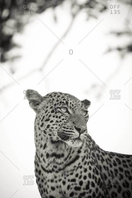 A leopard staring into the grasslands at Vumbura Plains, Botswana