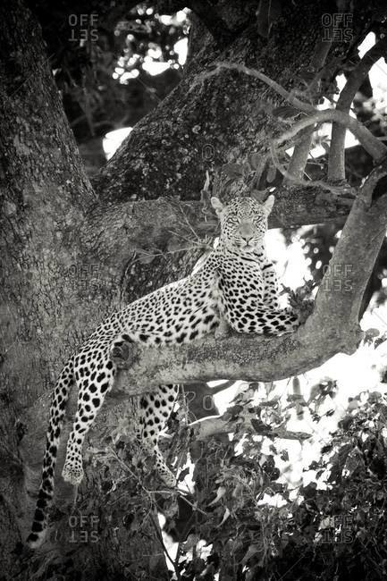 A leopard sitting in a tree at Vumbura Plains, Botswana