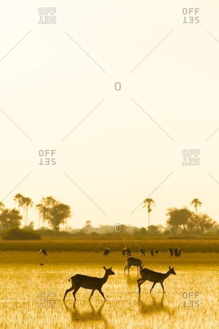 Impalas at sundown, Okavango Delta, Botswana