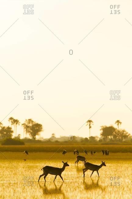 Impalas at sundown, Okavango Delta, Botswana