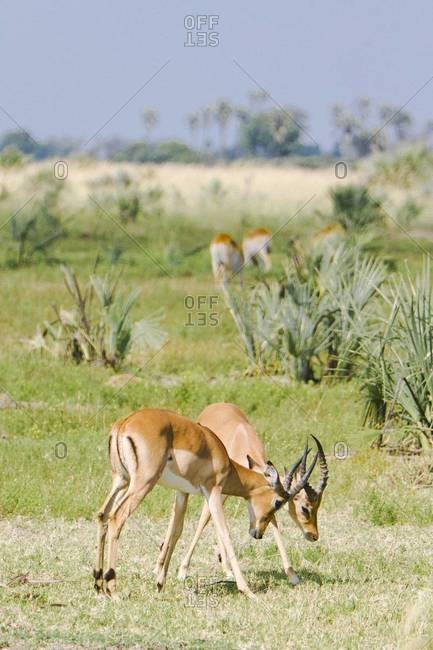 Two Impalas fighting in the Okavango Delta, Botswana