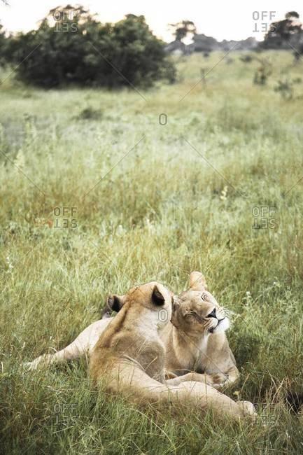 Two lioness at Vumbura Plains, Botswana