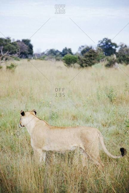 A lioness at Vumbura Plains, Botswana