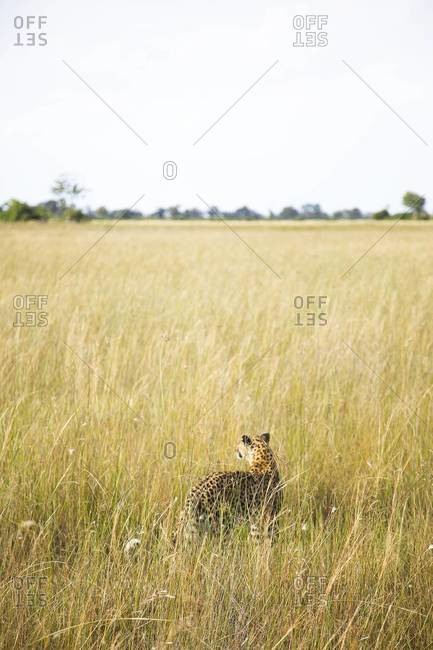 A leopard at Vumbura Plains, Botswana