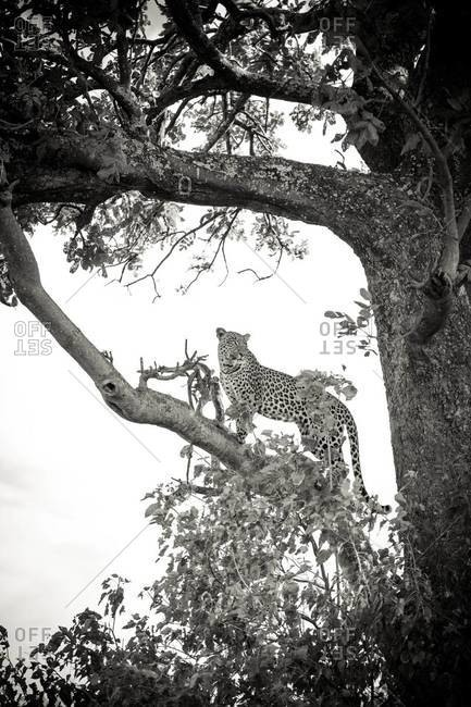 A leopard in a tree at Vumbura Plains, Botswana