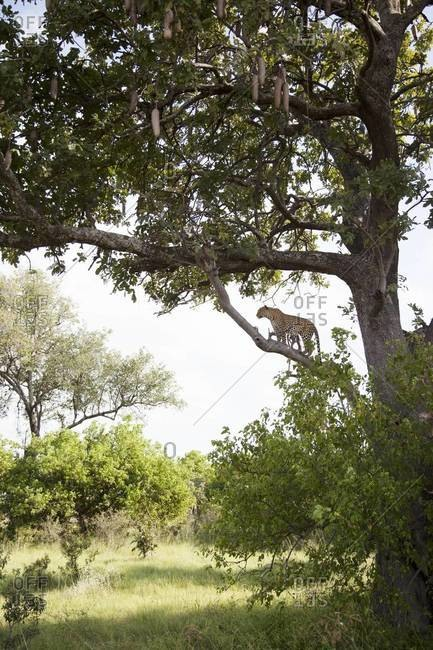 A leopard climbing a tree at Vumbura Plains, Botswana