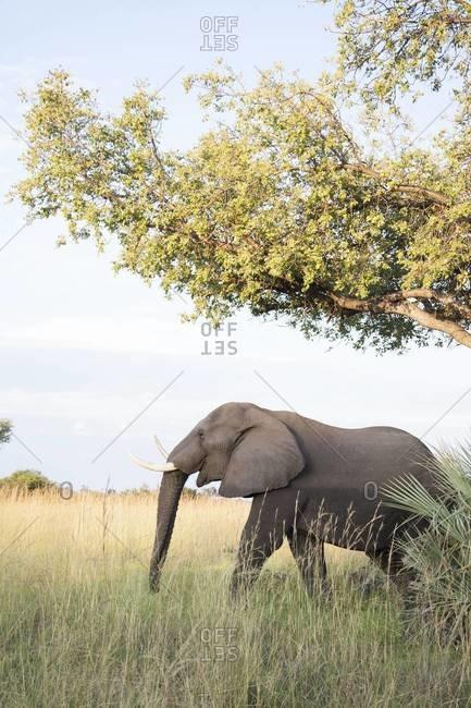 An elephant, Okavango Delta, Botswana