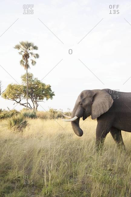 An elephant eating, Okavango Delta, Botswana