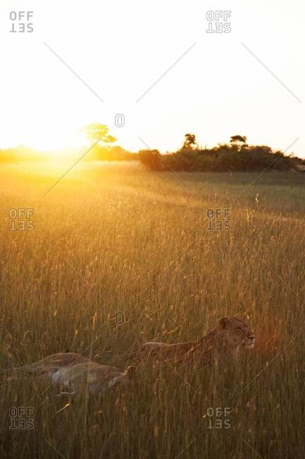 Two lioness relaxing in the grass in Botswana