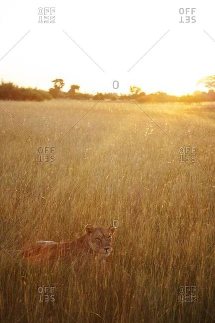 A lioness in the grass in Botswana
