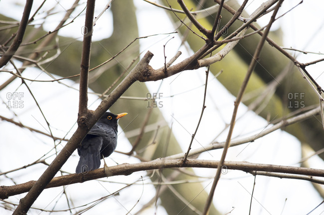 Common blackbird, Turdus merula, perching on leafless tree branch
