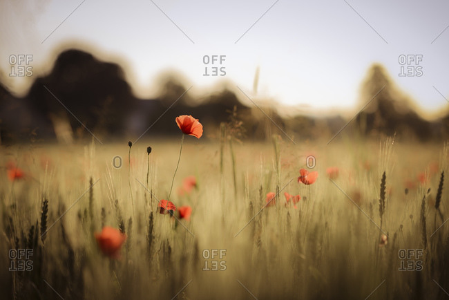 Poppy field in the evening