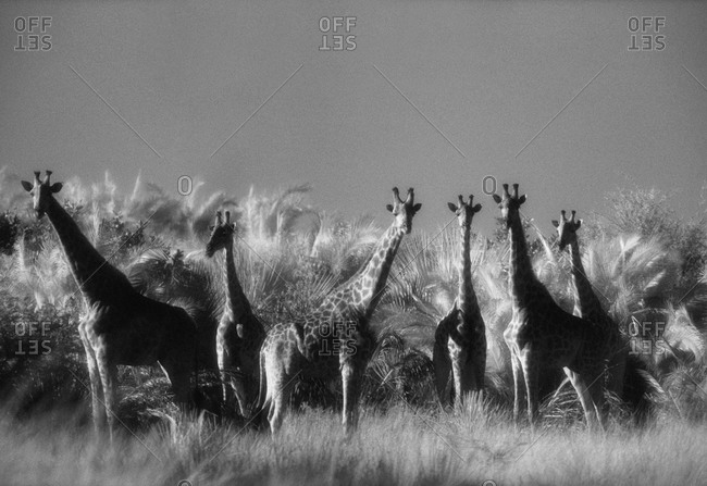 Reticulated giraffes in Botswana, Africa