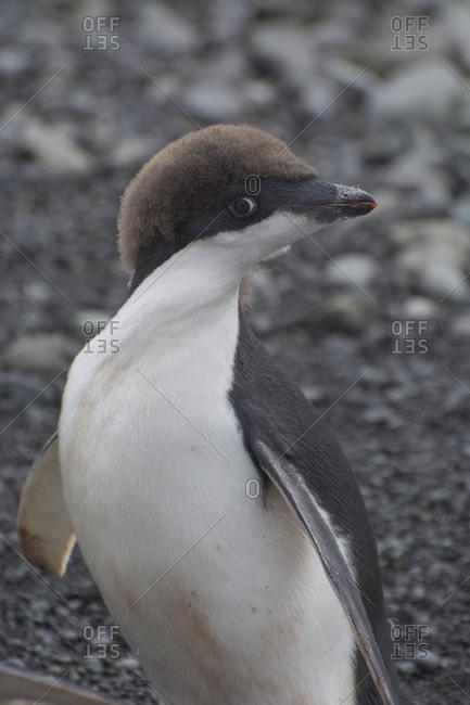 Juvenile Adelie penguin in Antarctica