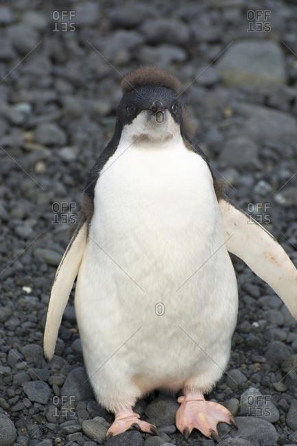 Juvenile Adelie penguin in Brown Bluff, Antarctica