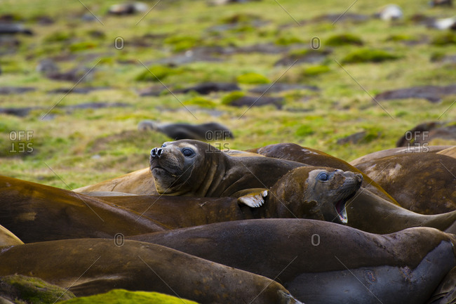 Molting Southern elephant seals in Stromness, South Georgia
