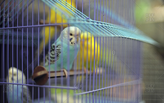 Colorful parakeets in cage in Sonepur, Bihar, India