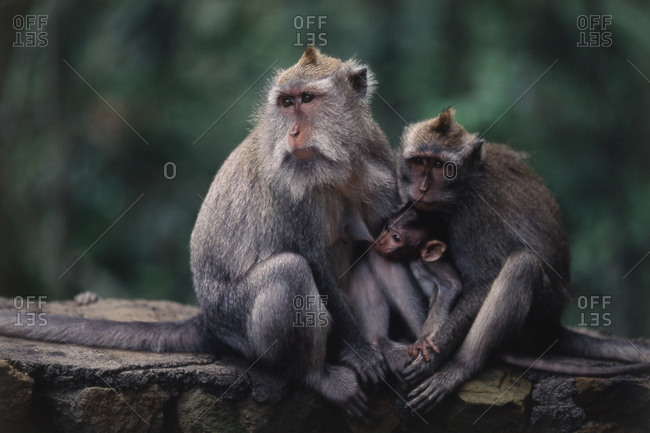 Long-tailed Macaque feeding an offspring in Ubud, Bali, Indonesia