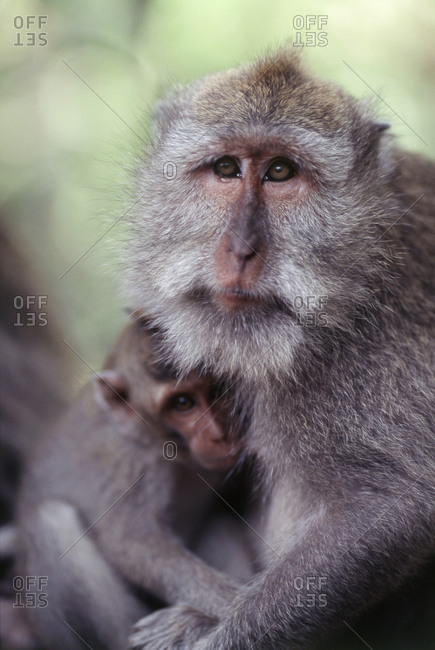 Long-tailed Macaque with its offspring in Ubud, Bali, Indonesia