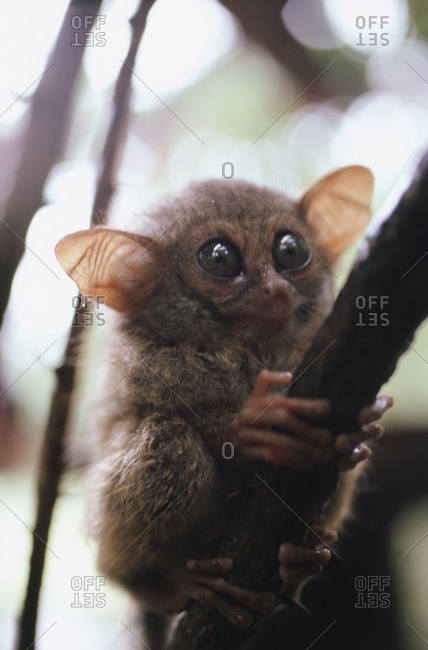 Wild tarsier sitting on a tree in North Sulawesi, Indonesia