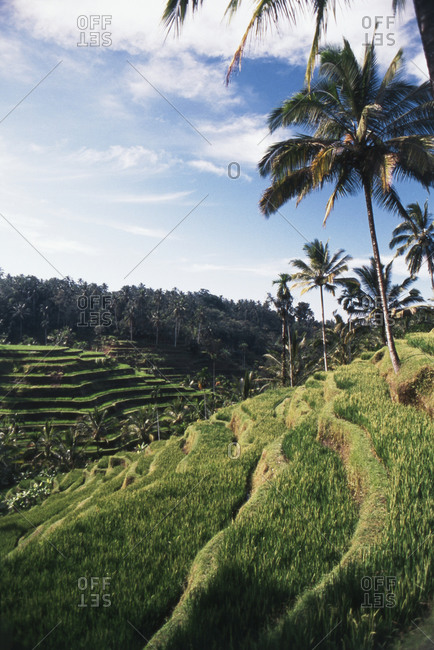 Rice terraces and palm trees in Bali, Indonesia