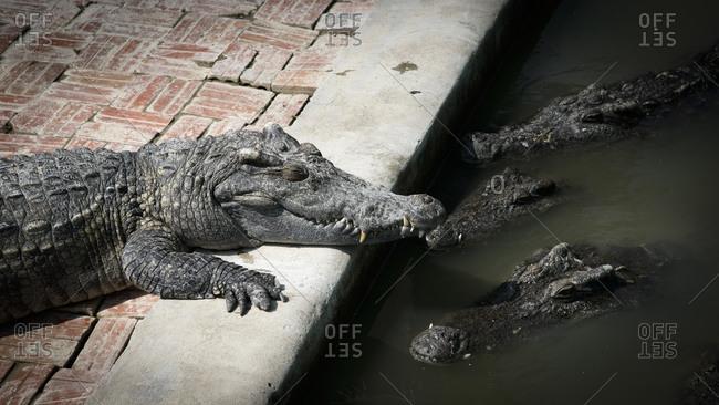 Crocodiles at a crocodile farm in Siem Reap, Cambodia