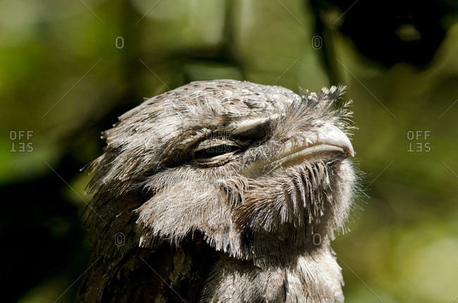 Tawny frogmouth in the Territory Wildlife Park, Northern Territory of Australia