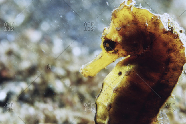 Close- Up of a Pacific Seahorse