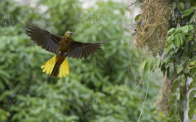 Russet-backed oropendola building a nest