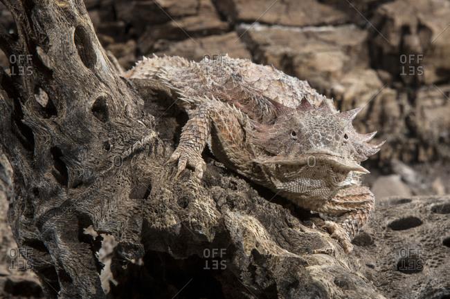 Close up of a regal horned lizard