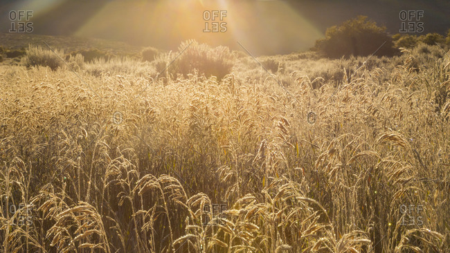 Sun shining above a wheat field in Colorado
